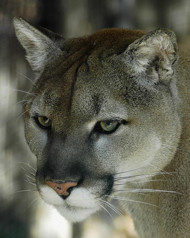closeup-of-cougar-panther-puma-face
