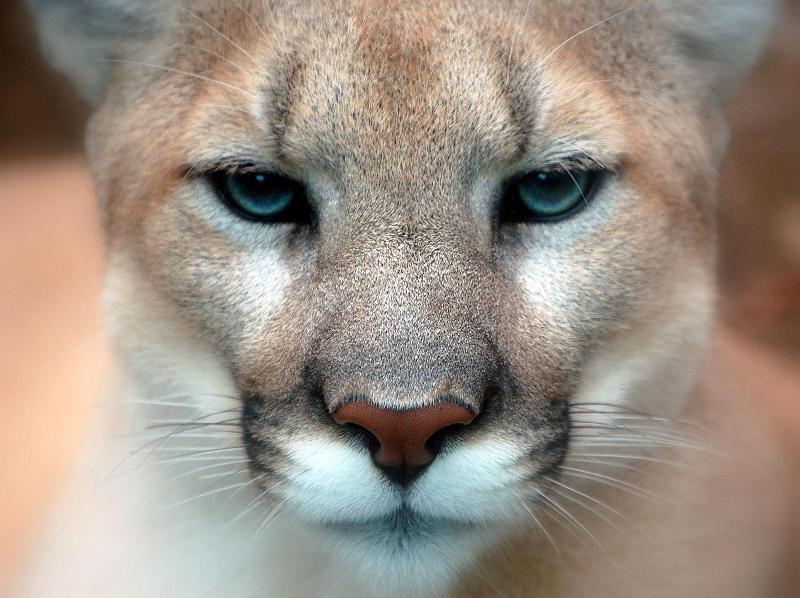 face close animal cougar faces animals cougars lion puma mountain ups eyes closeup amazing facts things funny cat wild mammal