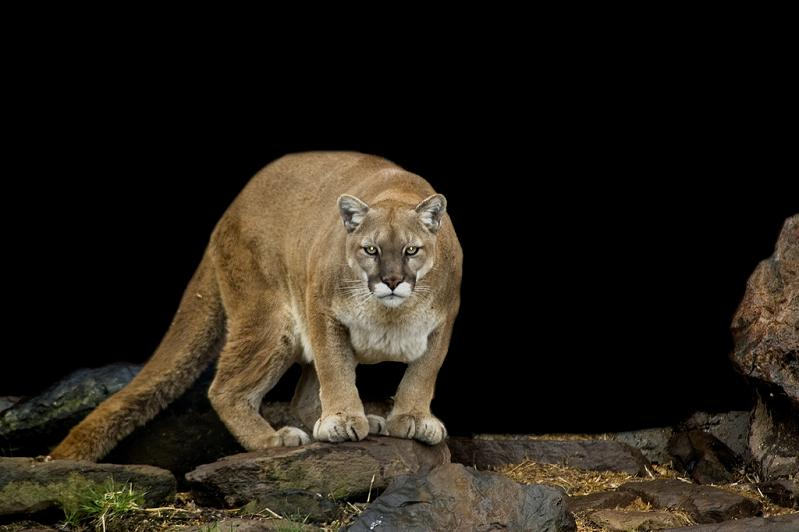 Things You Didnt Know About Cougars Pics TwistedSifter - 15 transparent animals that almost dont look real