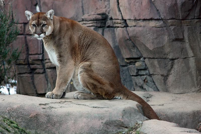 cougar panther puma sitting 10 Things You Didnt Know About Cougars [15 pics]