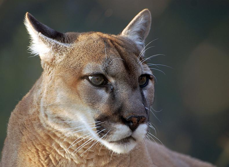 cougar puma mountain lion catamount panther 10 Things You Didnt Know About Cougars [15 pics]