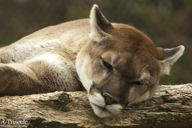 cougar sleeping puma panther 10 Things You Didnt Know About Cougars [15 pics]
