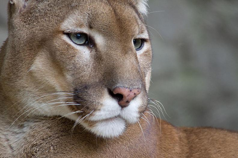 face of a cougar puma panther 10 Things You Didnt Know About Cougars [15 pics]