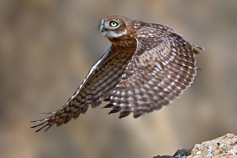 baby owl flying 25 Stunning Photographs of Birds in Flight