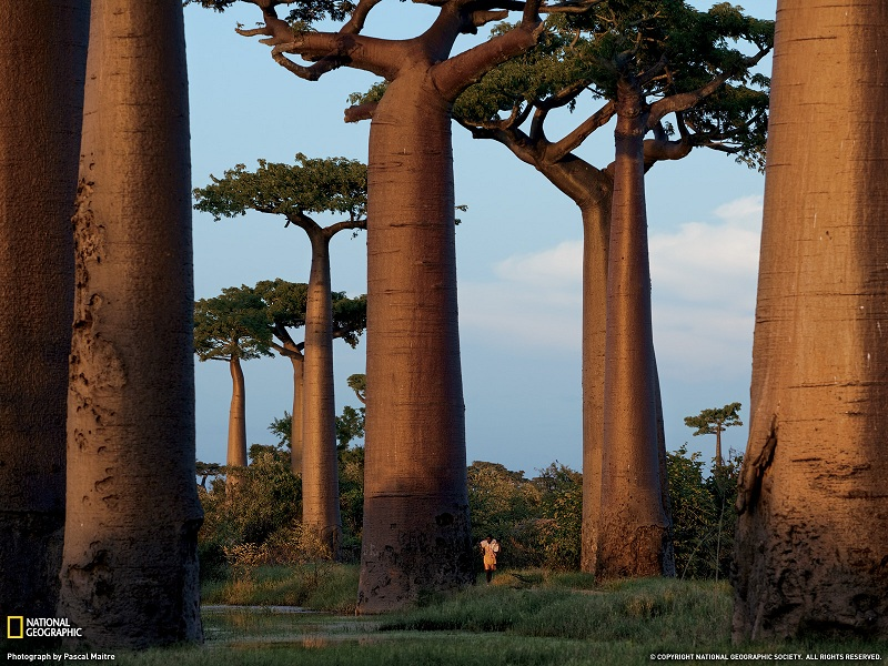 Picture of the Day – Baobab Trees of Madagascar | Oct 26, 2010