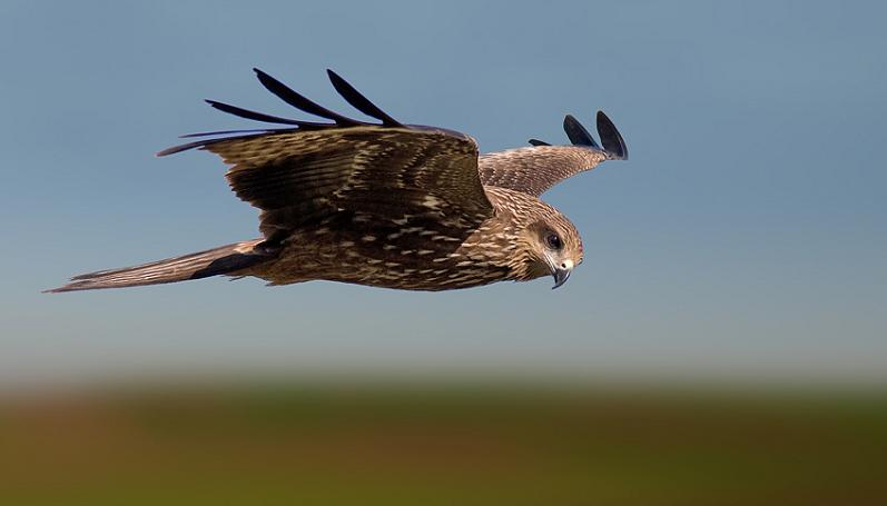 black-kite-flying