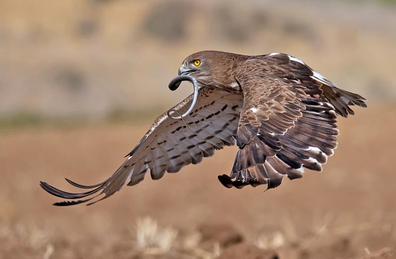 falcon flying with prey in mouth 25 Stunning Photographs of Birds in Flight