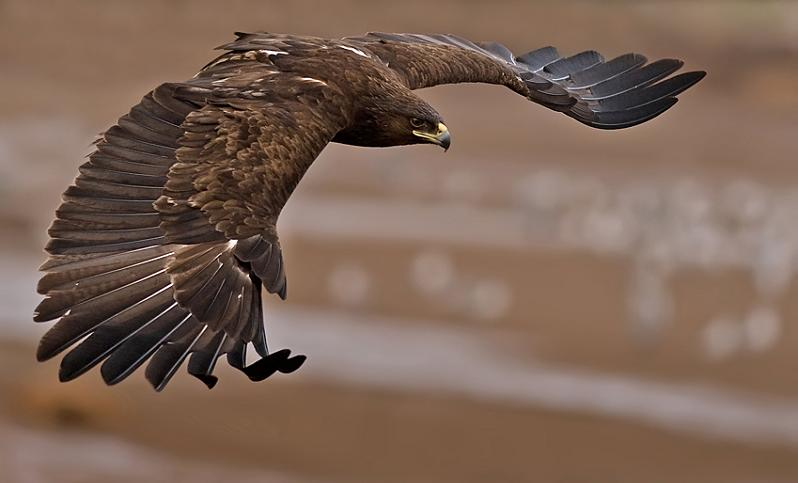 greater spotted eagle 25 Stunning Photographs of Birds in Flight