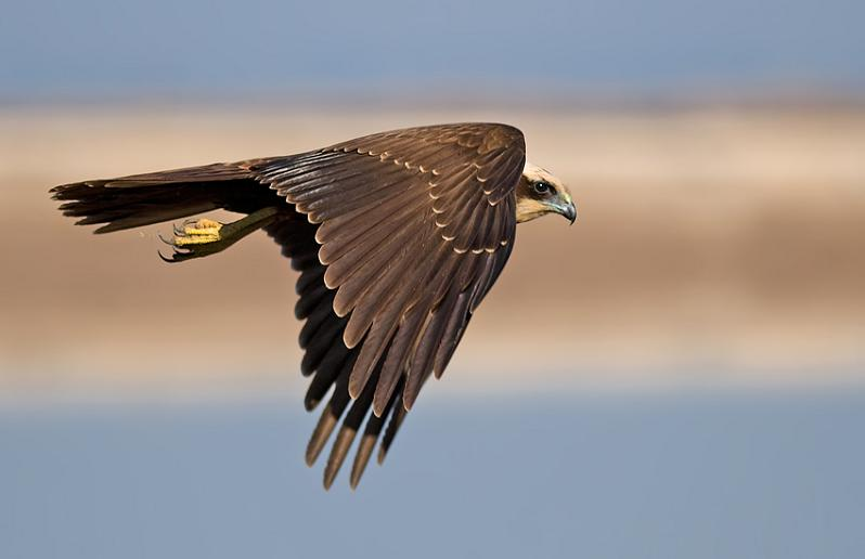 harsh-harrier