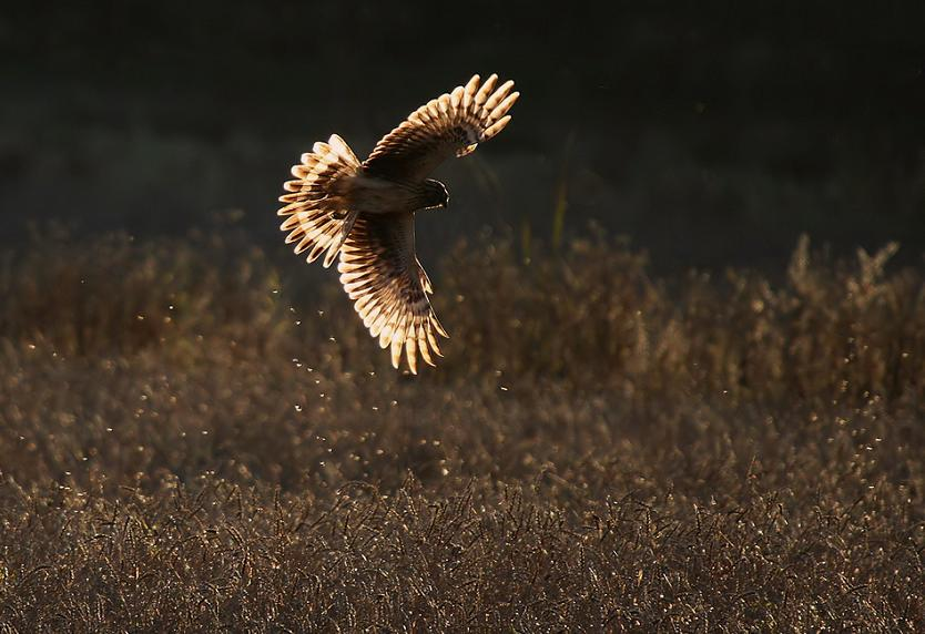 hen harrier 25 Stunning Photographs of Birds in Flight