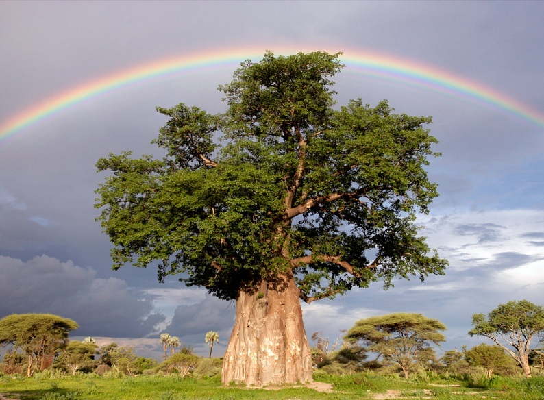 rainbow-over-baobab-tree
