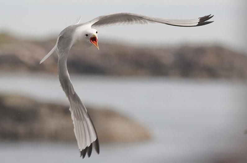 seagull in flight 25 Stunning Photographs of Birds in Flight