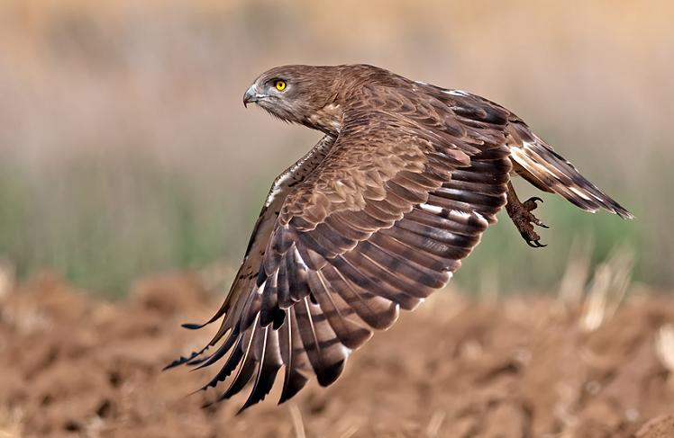 short-toed-eagle-midflight