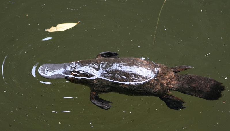 The World's Weirdest Mammal – The Platypus «TwistedSifter