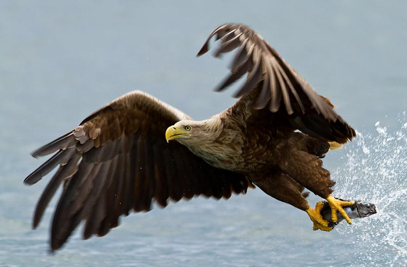 white tailed eagle with prey 25 Stunning Photographs of Birds in Flight