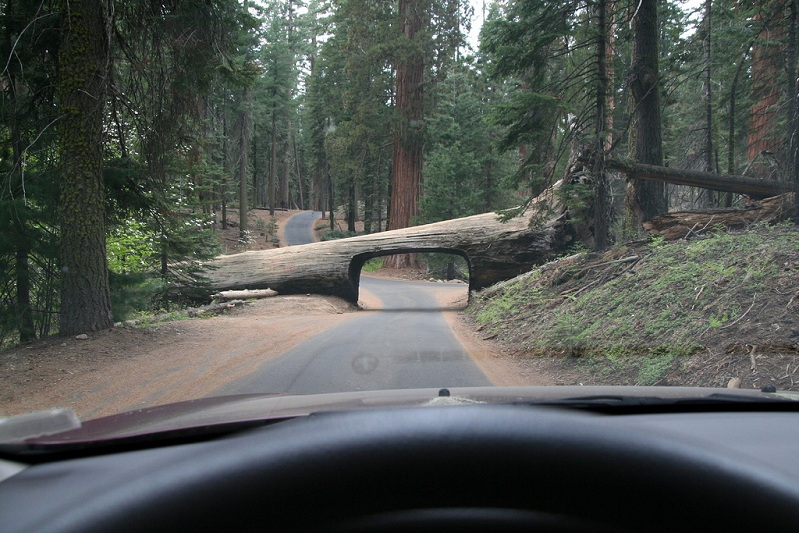 fallen-tree-with-tunnel-through-it-road-log