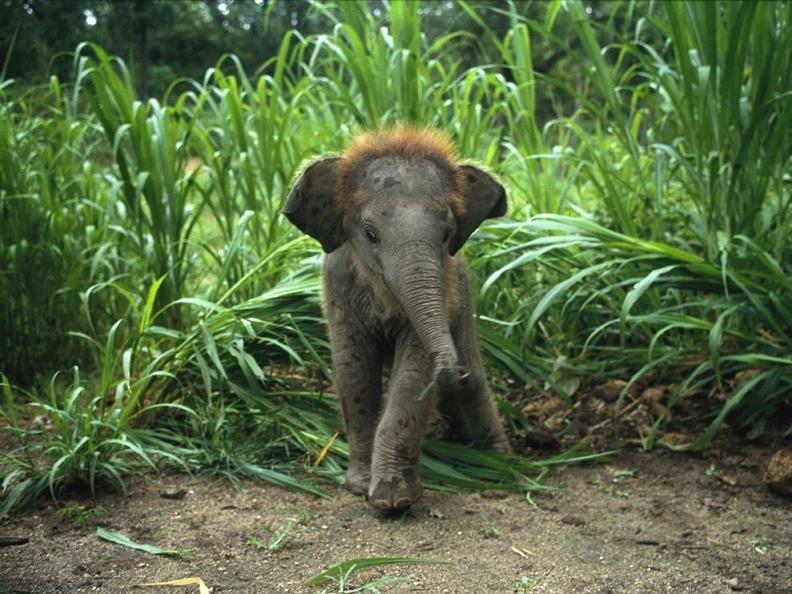 baby asian elephant Top 10 Facts of the Worlds Largest Land Animal [20 pics]
