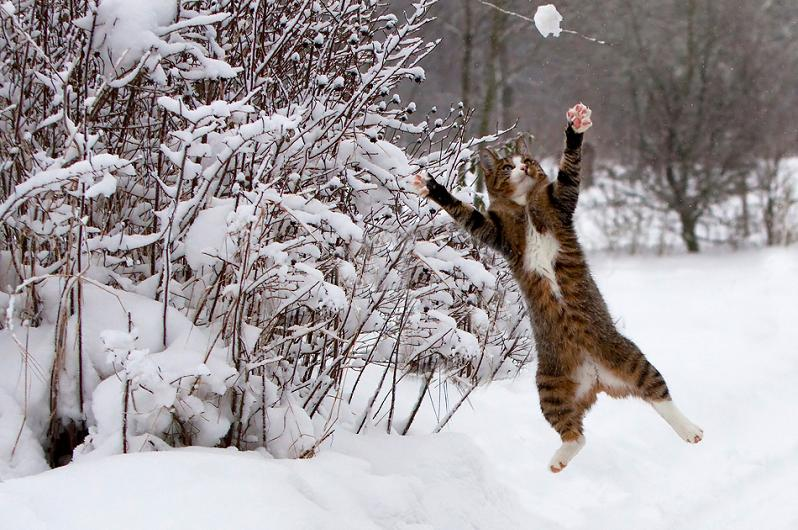 cat catching snow Picture of the Day: Cat Loves Snow