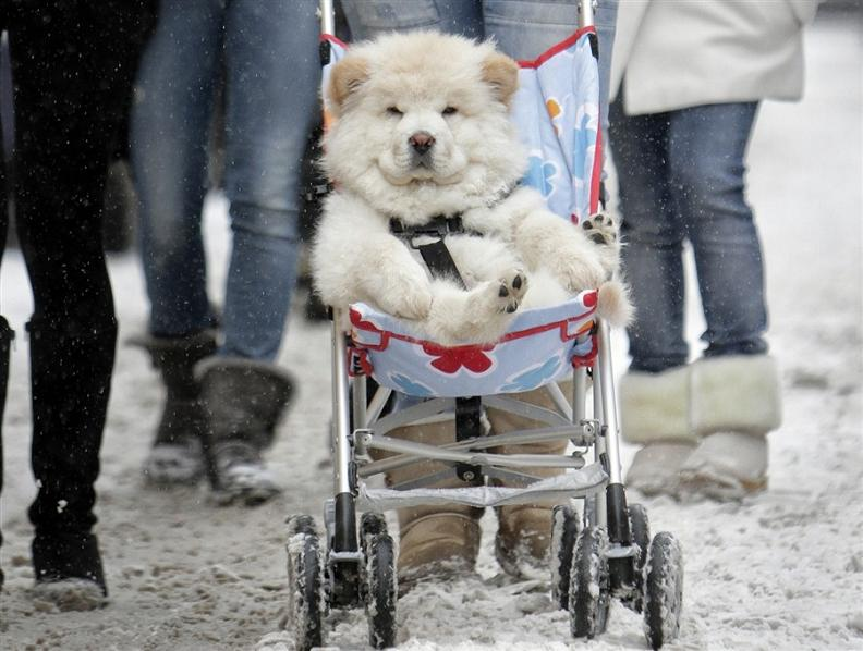 dog riding in stroller The Friday Shirk Report   December 31, 2010 | Volume 90