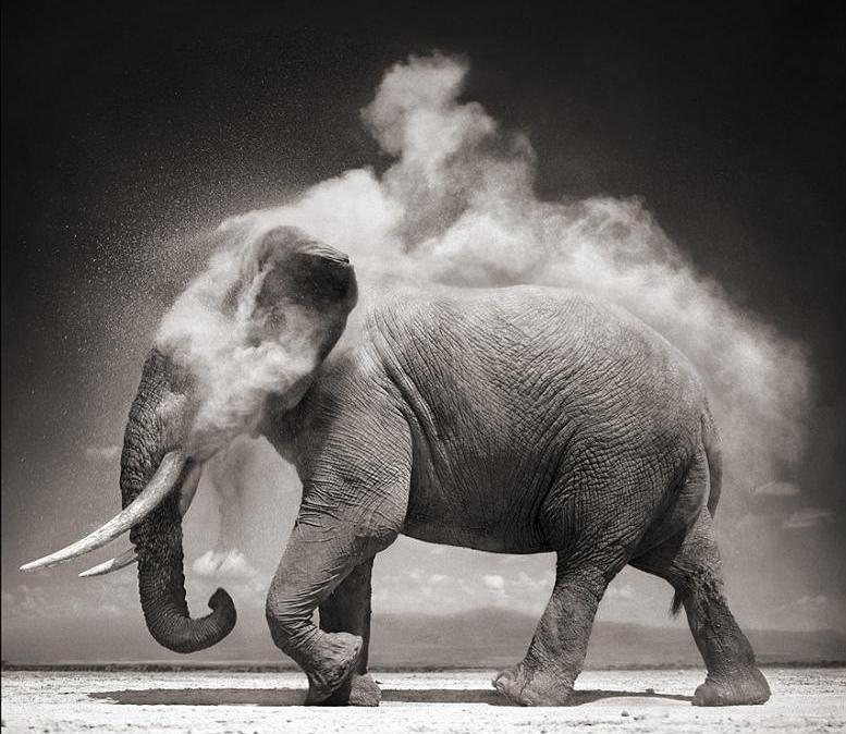 elephant cooling itself 25 Magnificent Pictures of LIONS