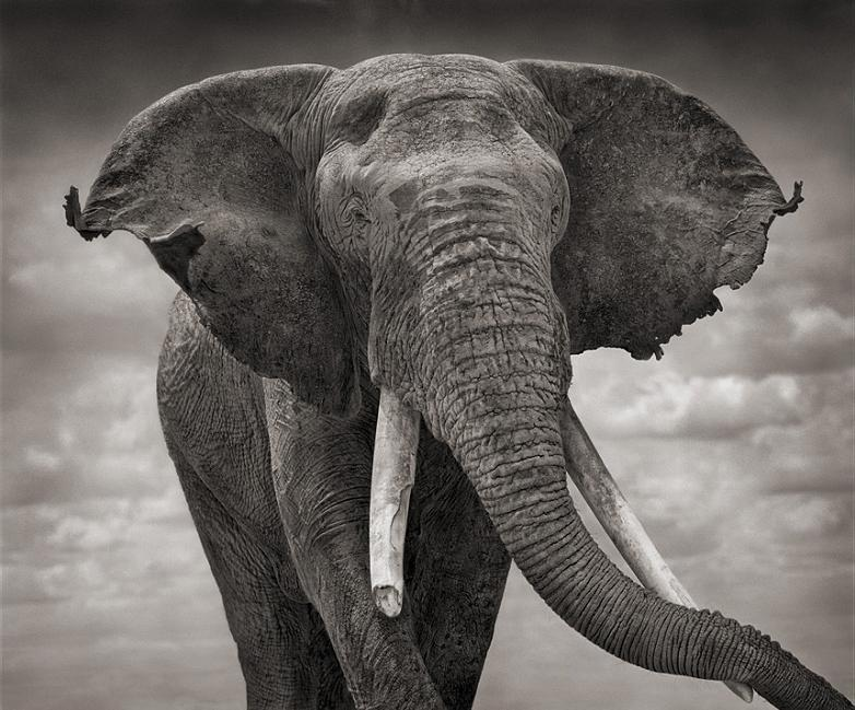 elephant ears Top 10 Facts of the Worlds Largest Land Animal [20 pics]