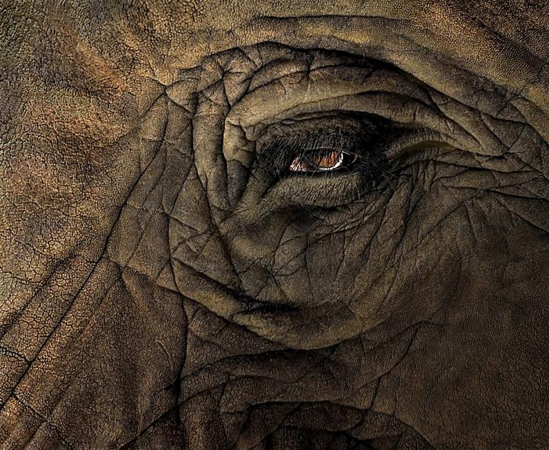 elephant eye close up Top 10 Facts of the Worlds Largest Land Animal [20 pics]