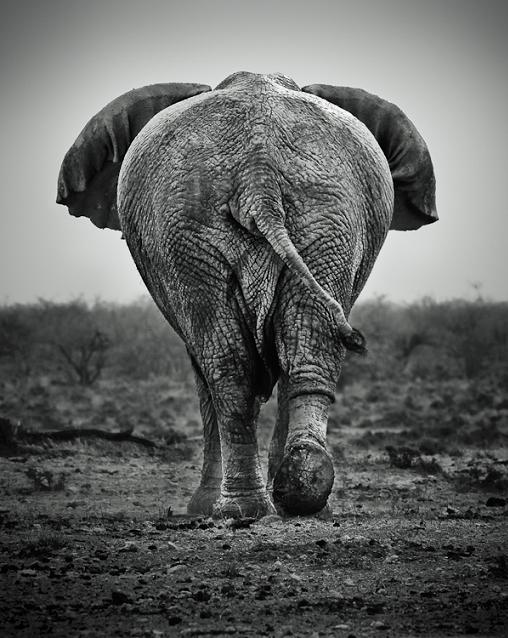 elephant-from-behind