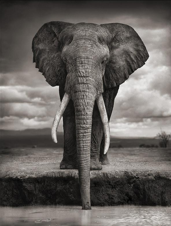 elephant head on drinking water Top 10 Facts of the Worlds Largest Land Animal [20 pics]