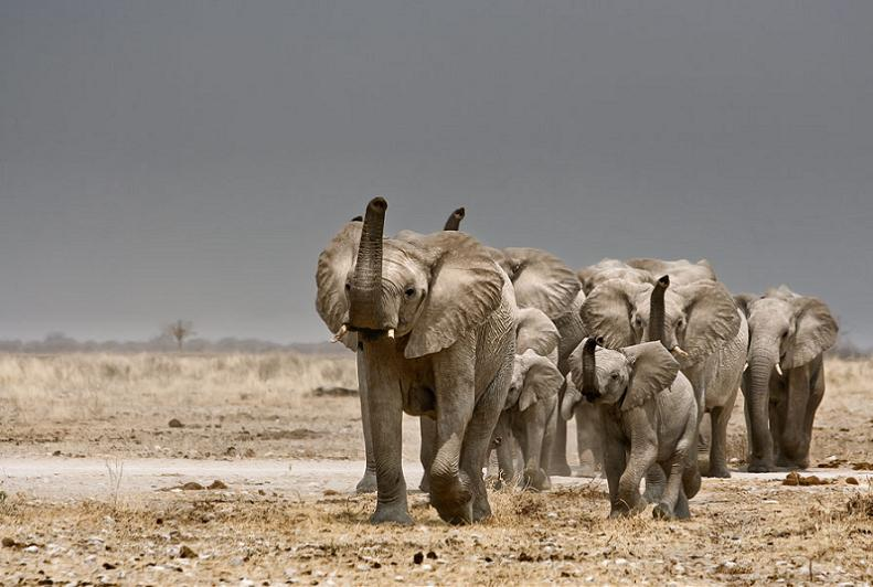 elephant herd Top 10 Facts of the Worlds Largest Land Animal [20 pics]