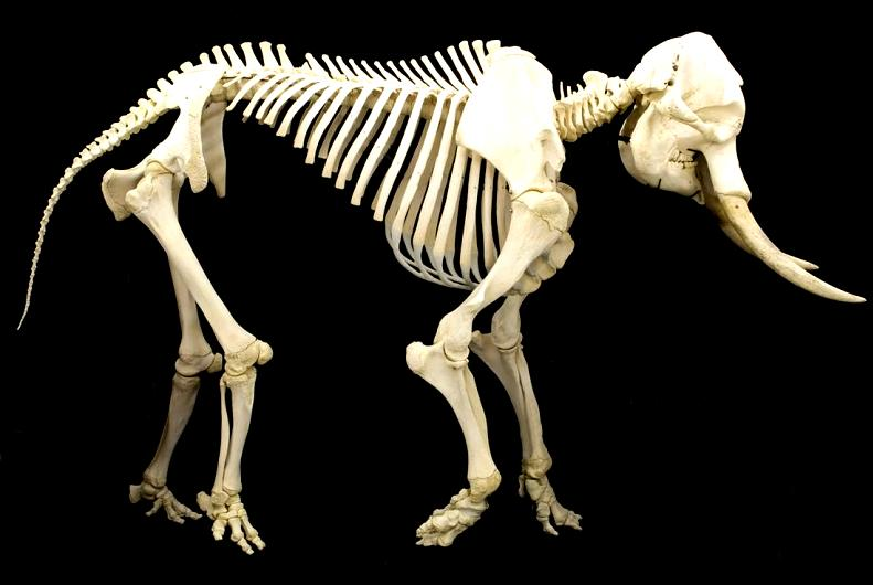 elephant skeleton Top 10 Facts of the Worlds Largest Land Animal [20 pics]