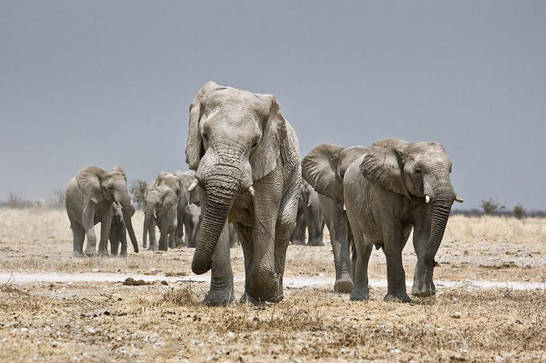 family of elephants Top 10 Facts of the Worlds Largest Land Animal [20 pics]