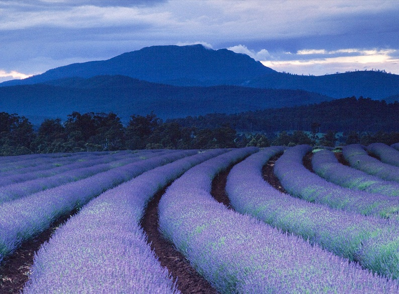 lavender fields bridestowe estate tasmania Picture of the Day: Purple Rain