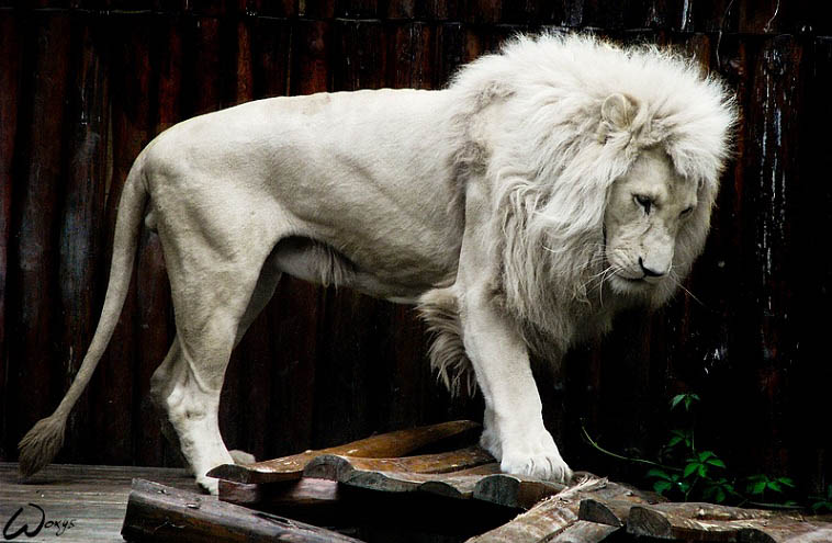 albino lion 25 Magnificent Pictures of LIONS
