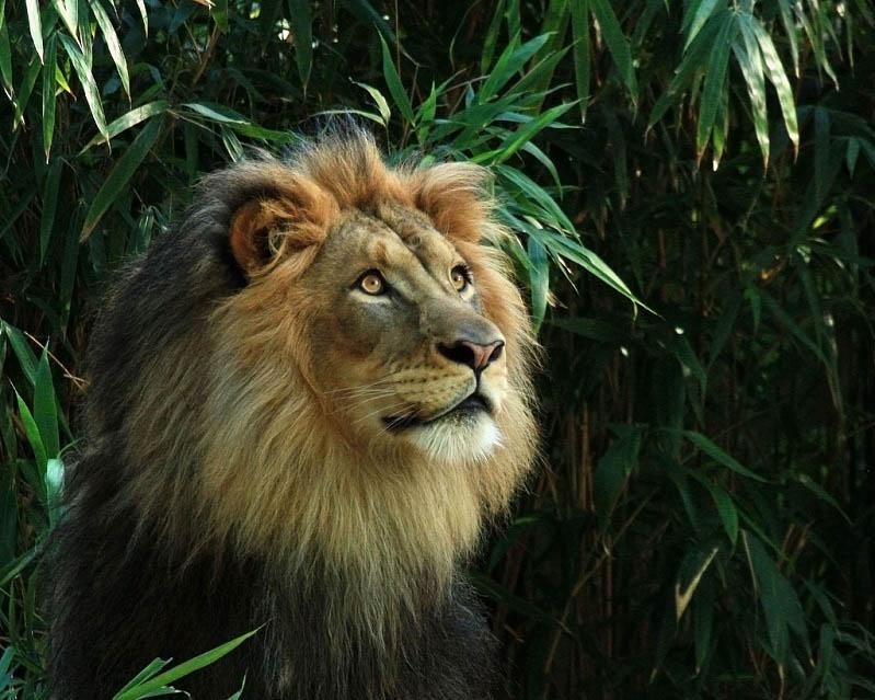 lion 1 25 Magnificent Pictures of LIONS