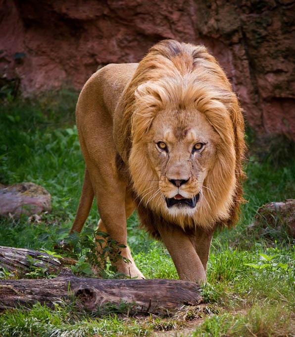 lion 2 25 Magnificent Pictures of LIONS