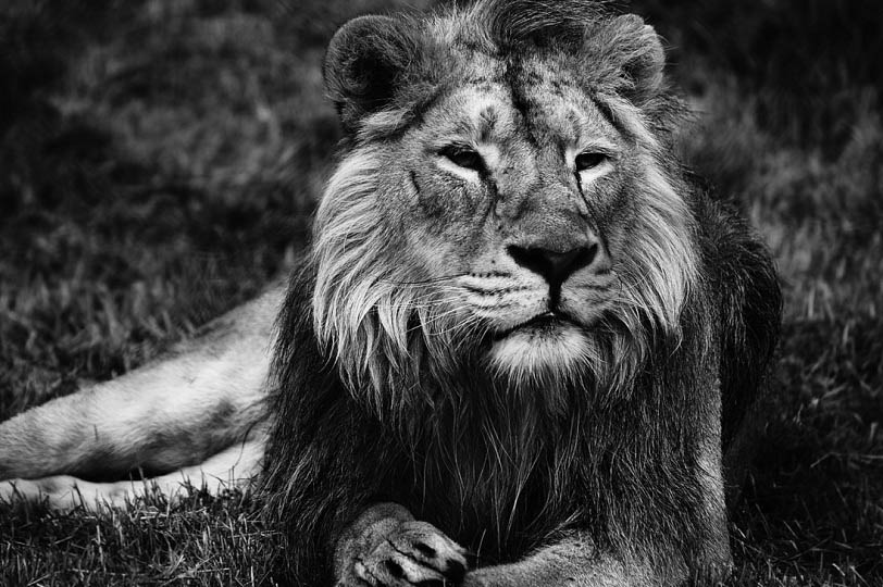 lion black and white 25 Magnificent Pictures of LIONS