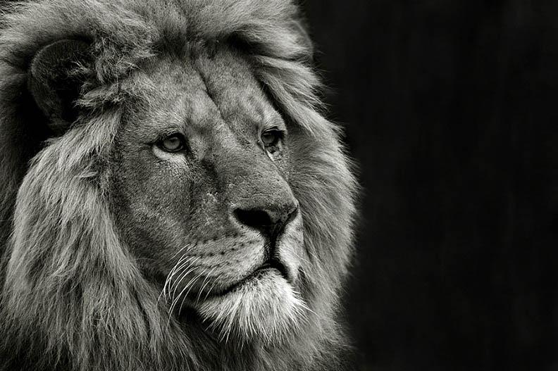 lion-bw