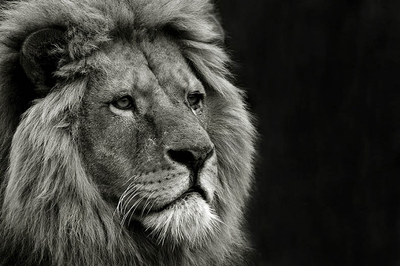 lion bw 25 Magnificent Pictures of LIONS