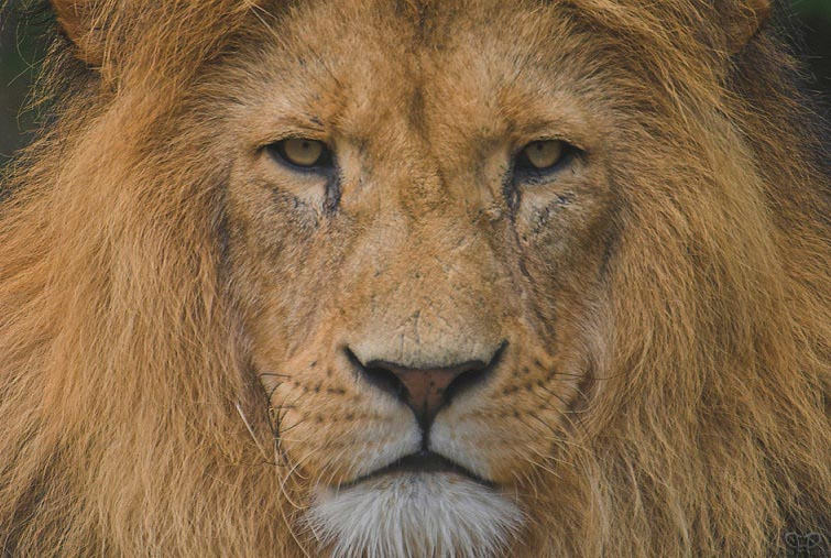 lion closeup 25 Magnificent Pictures of LIONS