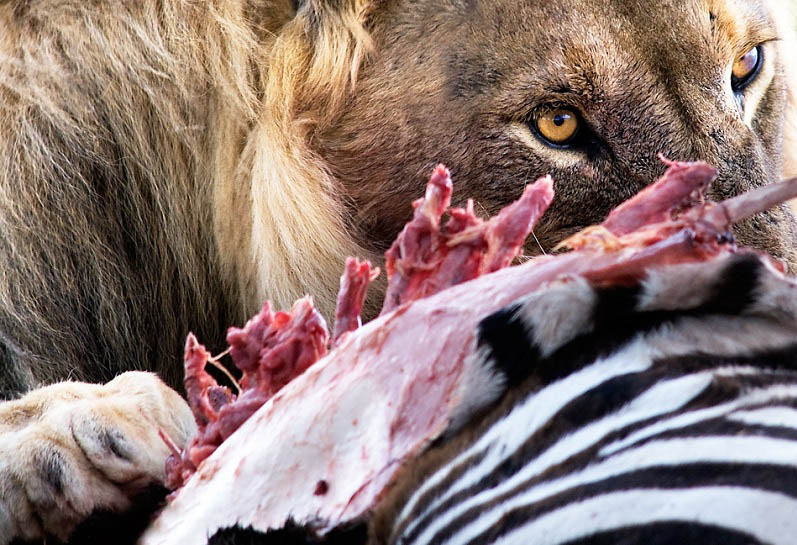 lion eating 25 Magnificent Pictures of LIONS