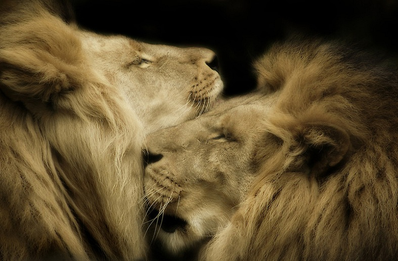 lion embrace 25 Magnificent Pictures of LIONS