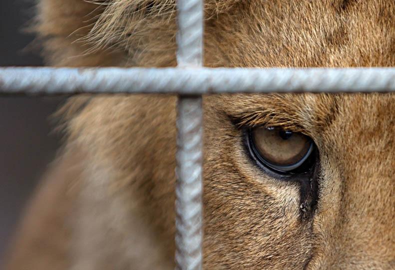 lion eye closeup 25 Magnificent Pictures of LIONS