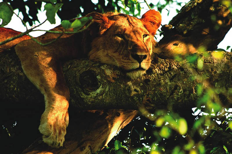 lion-in-a-tree