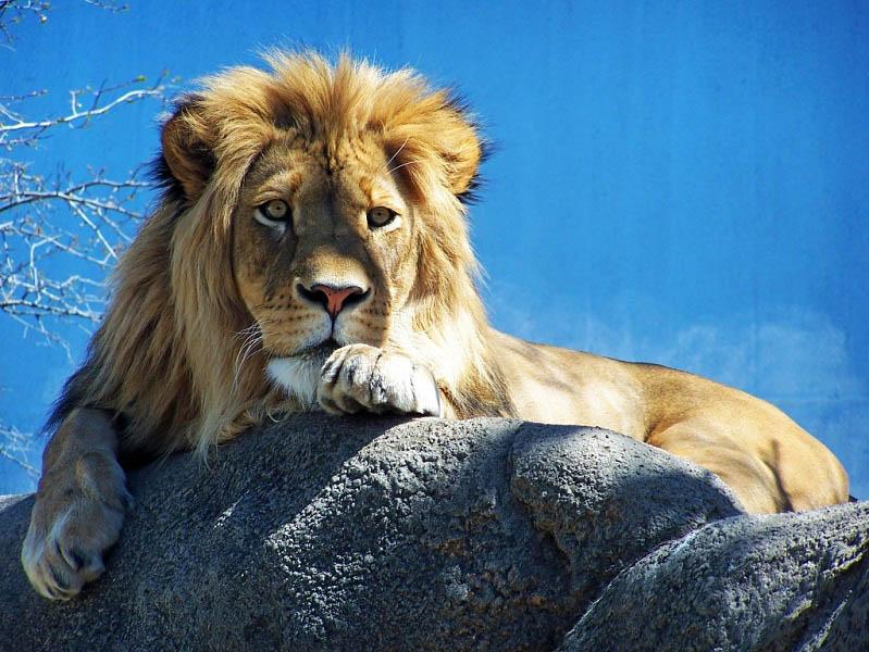 lion-laying