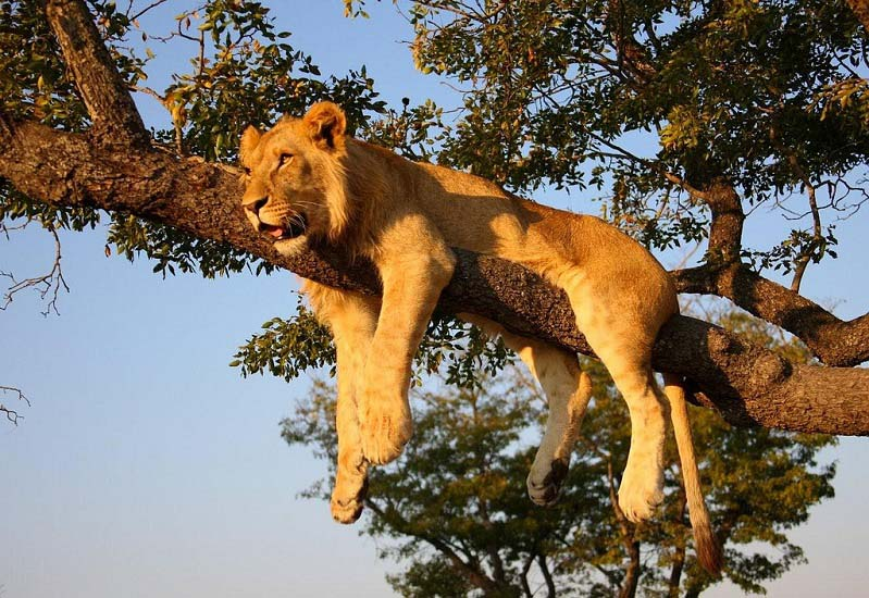 http://twistedsifter.files.wordpress.com/2011/01/lion-on-tree.jpg