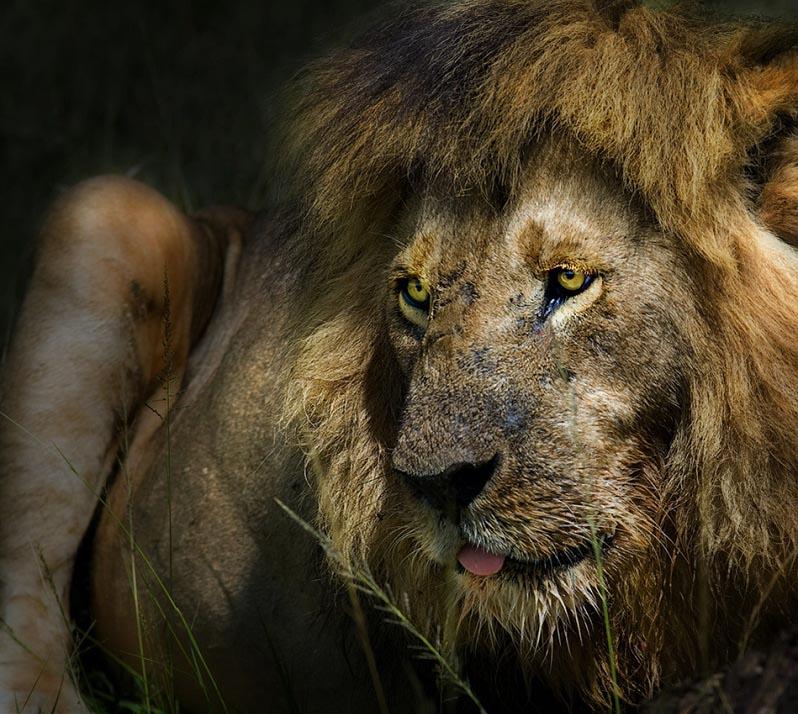 lion-portrait