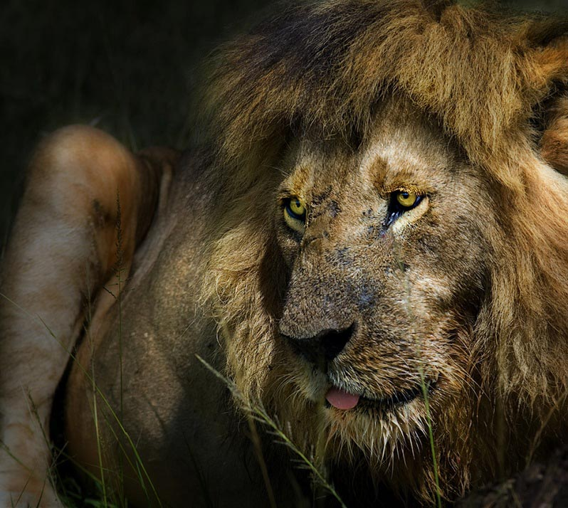 25 Magnificent Pictures Of Lions Twistedsifter