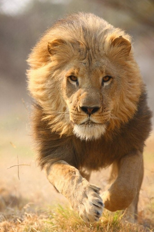 lion-running
