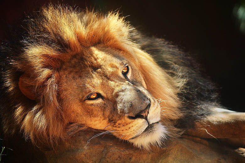 lion sun 25 Magnificent Pictures of LIONS