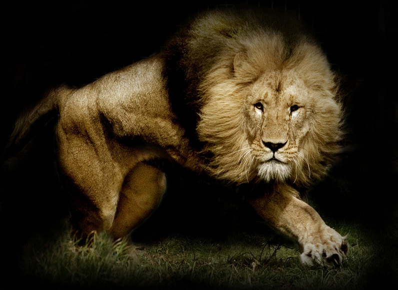 lion The Mighty Tiger: 15 Facts and 25 Stunning Photos
